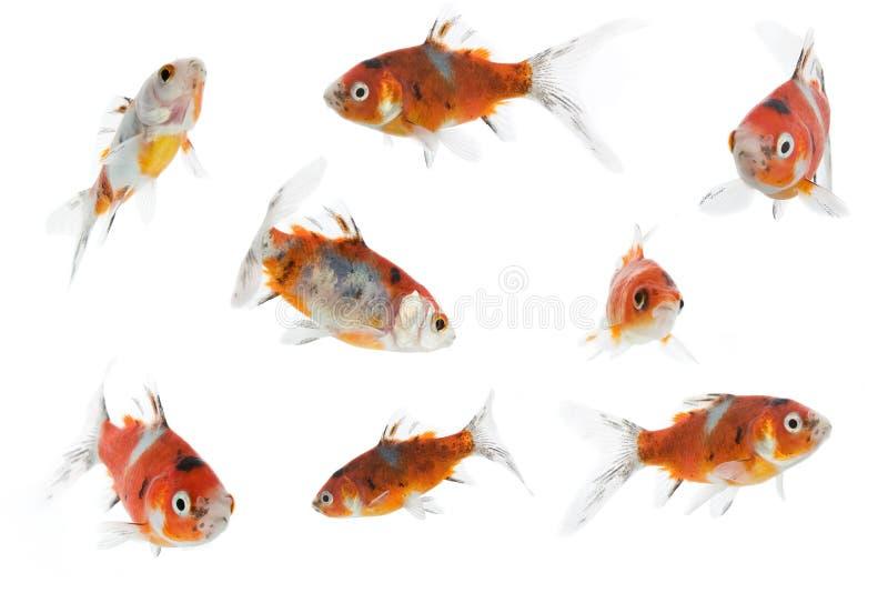 8不同金鱼 免版税库存照片
