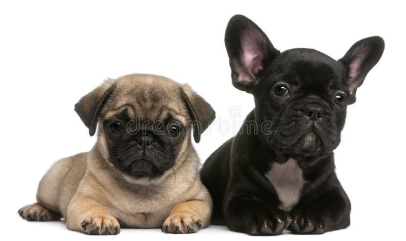 8个牛头犬法国老哈巴狗小狗星期 图库摄影