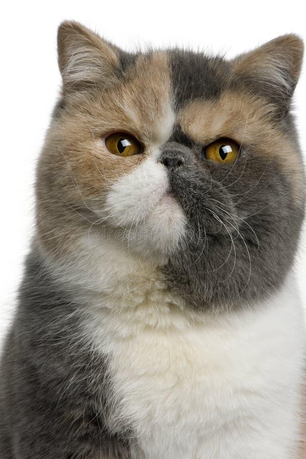 8个猫异乎寻常的月shorthair 库存图片