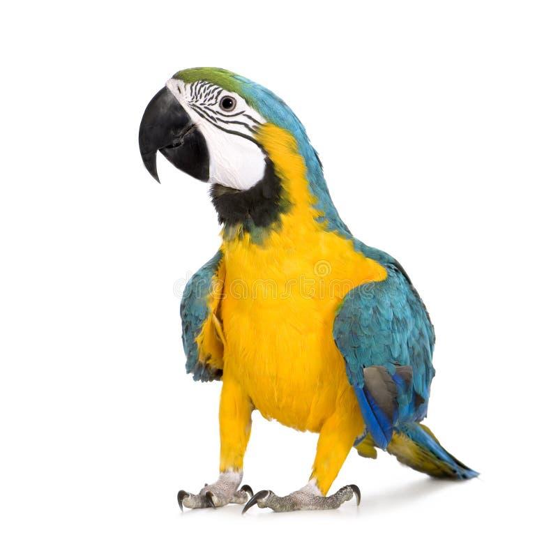 8个ara ararauna蓝色金刚鹦鹉月染黄年轻人 图库摄影