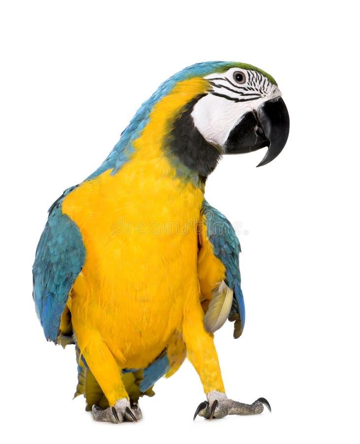 8个ara ararauna蓝色金刚鹦鹉mont黄色年轻人 免版税库存图片