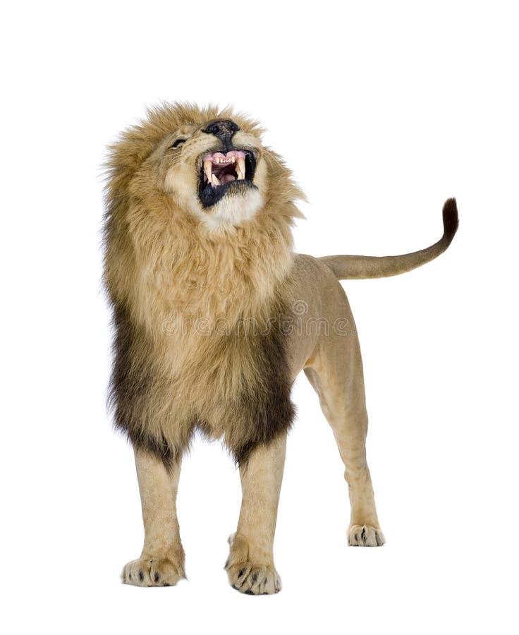 8利奥狮子panthera年 免版税库存照片