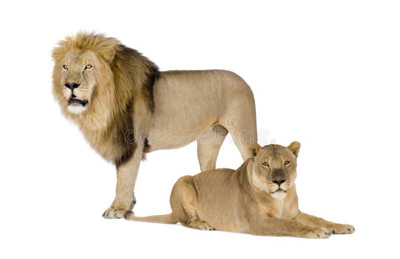 8利奥雌狮panthera年 库存图片