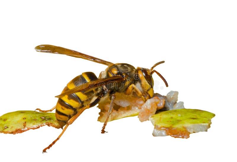 8大黄蜂 库存图片