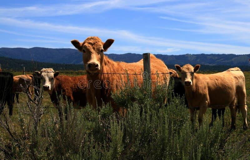 8头牛 库存图片