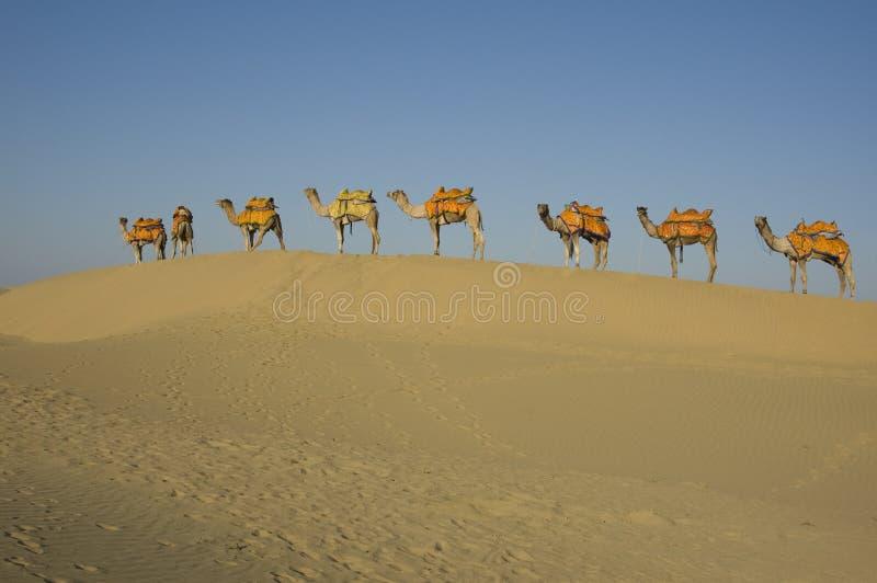8头骆驼行 免版税库存图片