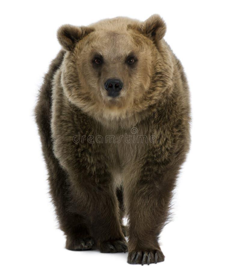 8 år för brun kvinnlig för björn gammala gå royaltyfria foton