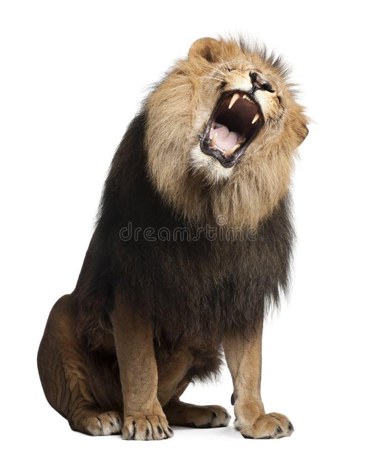 8 år för gammal panthera för leo lion ryta royaltyfri foto