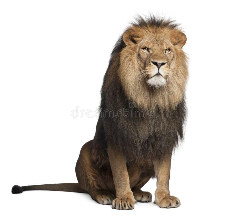 8 år för gammal panthera för leo lion sittande royaltyfria foton