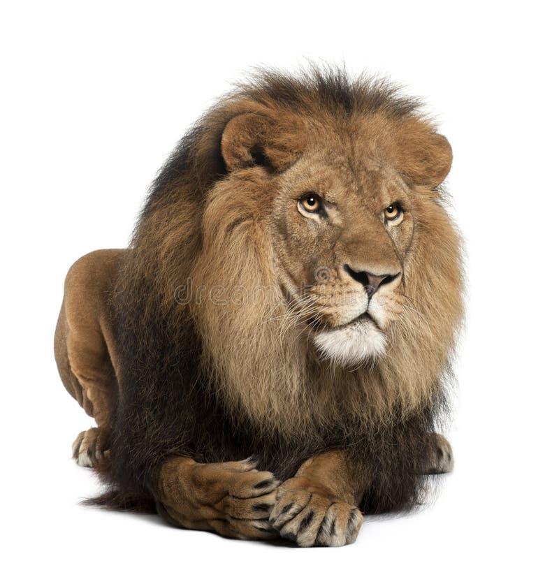 8 år för panthera för leo lion liggande gammala arkivfoton