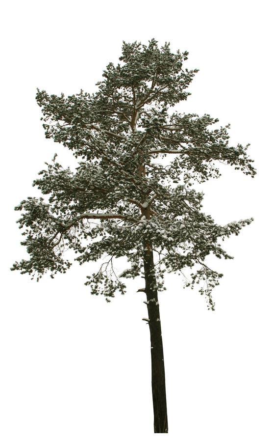 8 απομονωμένο δέντρο στοκ εικόνα