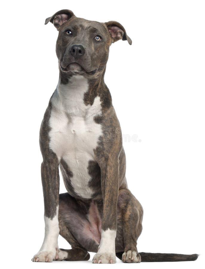 8 американских старого месяцев terrier staffordshire стоковые фото