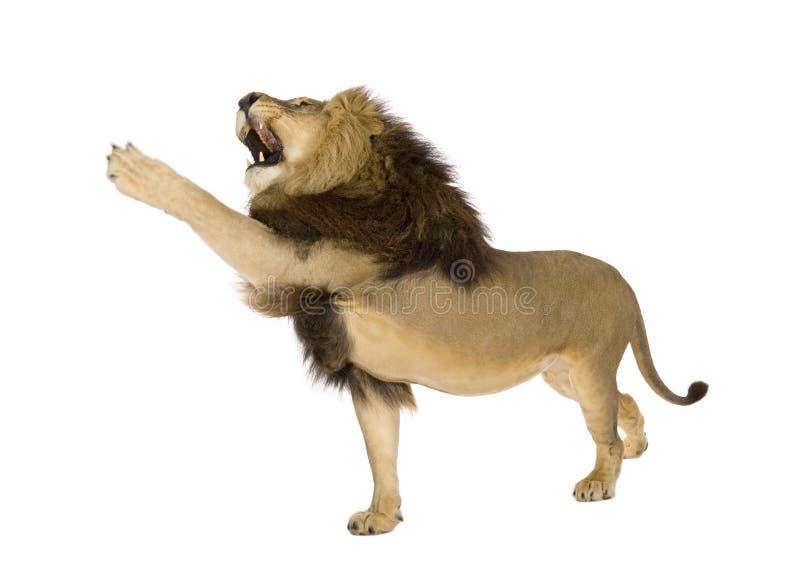 8 лет panthera льва leo стоковые изображения
