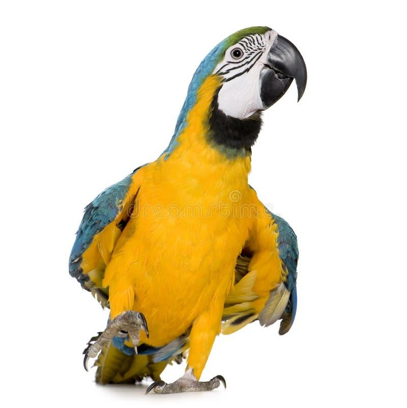 8 aronu ararauna miesięcy ary żółty niebieskich młodych obraz stock