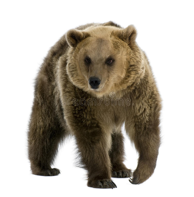 8 bruna gammala gå år för björn royaltyfri bild