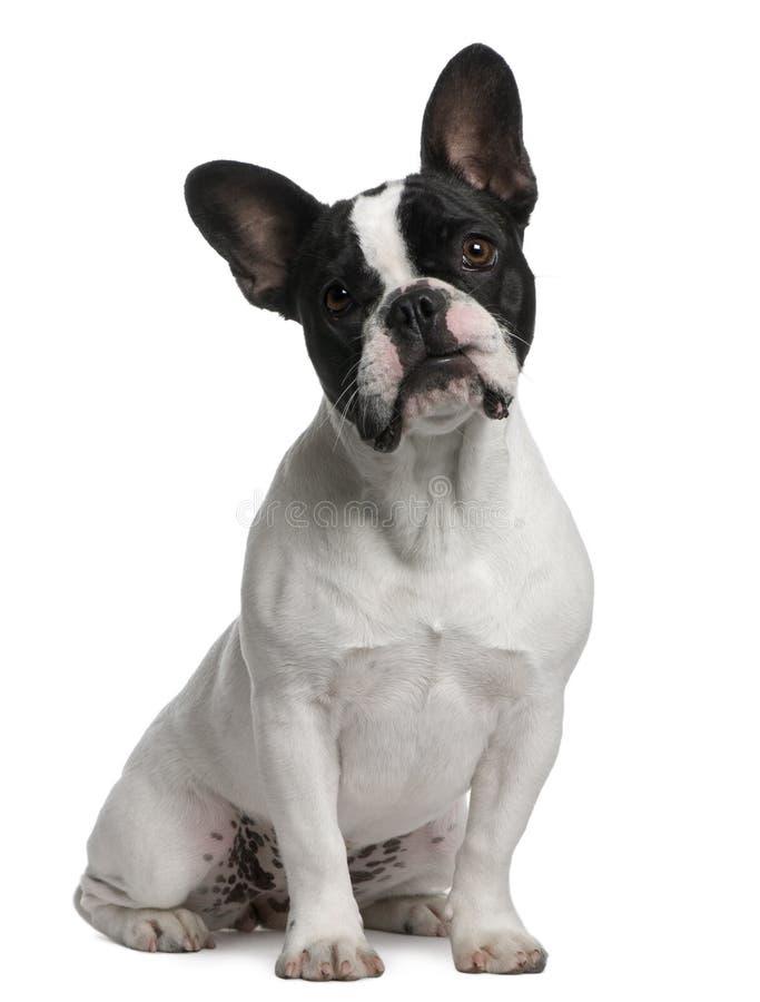 8 buldoga francuskich miesiąc stary szczeniaka obsiadanie fotografia royalty free