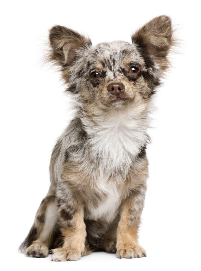 8 chihuahua miesiąc stary portreta szczeniaka obsiadanie obrazy stock