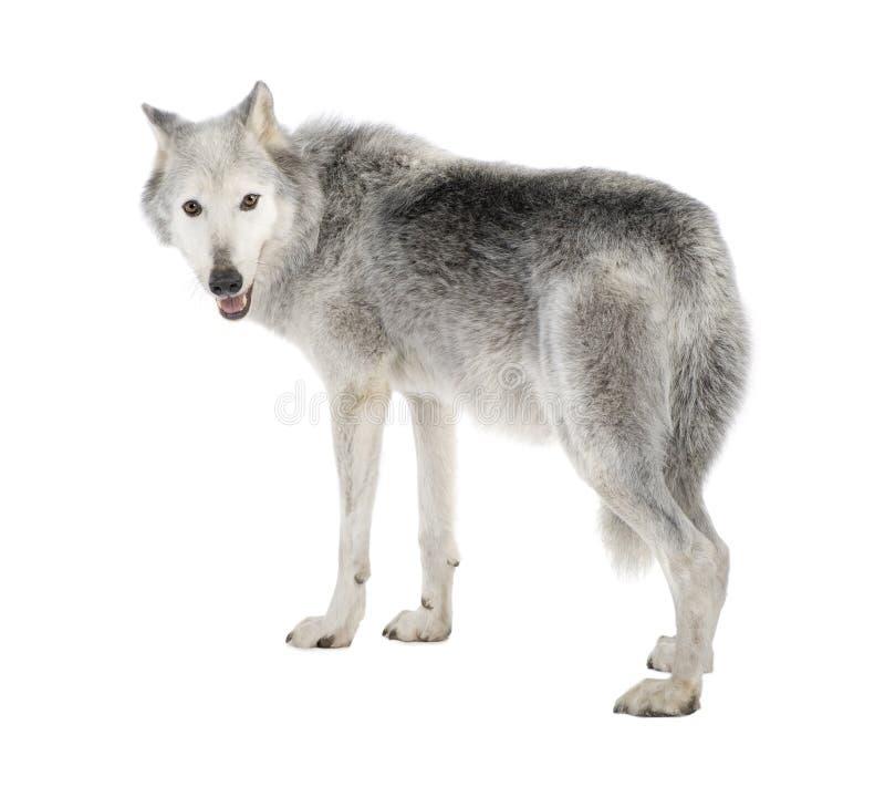 8 för mackenzie för canislupus år för wolf för dal occi royaltyfria bilder