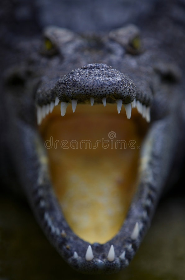 8 krokodyl 5049 zdjęcia royalty free