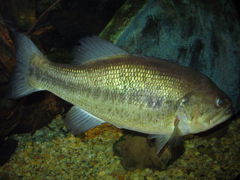 8 lb Largemouth Bass. Photo of an 8 lb Largemouth Bass at an aquarium. The Largemouth bass is the most popular sport fish in the United States. This trophy would