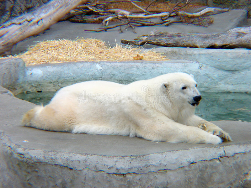 8 niedźwiadkowych polarne zdjęcie stock