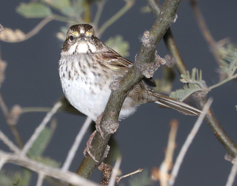 895 - White-throated Sparrow (12-21-2016) Patagonia Lake, Santa Cruz Co, Az -02 Free Public Domain Cc0 Image