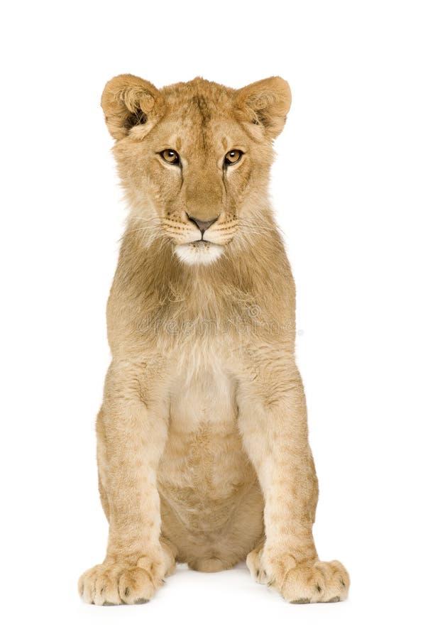 9个崽狮子月 库存图片