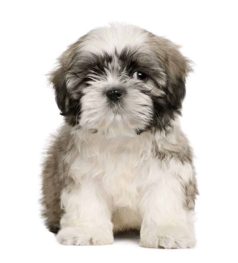 9个老小狗shih坐的tzu星期 库存图片