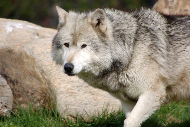 9灰狼 库存图片