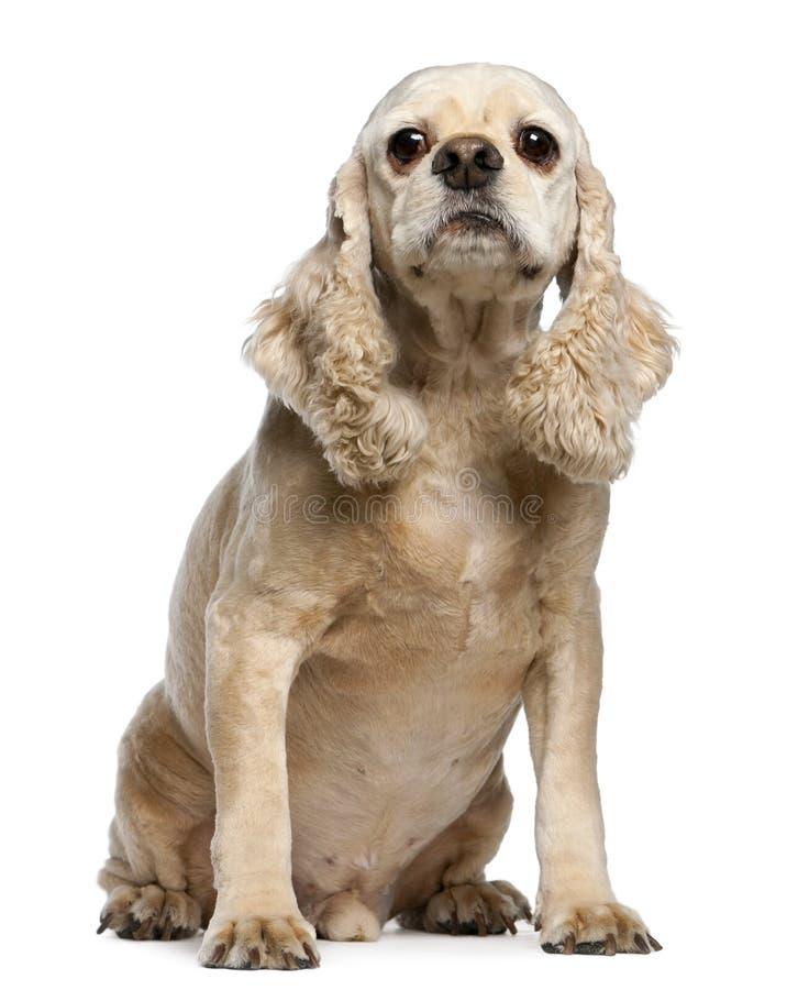 9美国斗鸡家老坐的西班牙猎狗年 免版税库存图片