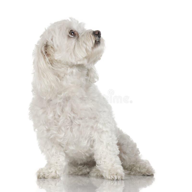 9 лет собаки мальтийсных стоковые изображения rf