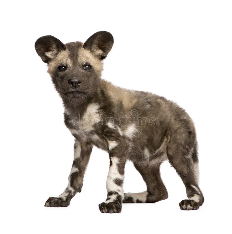 9 afrykanina lisiątka psa lycaon pictus tydzień dzikich fotografia royalty free