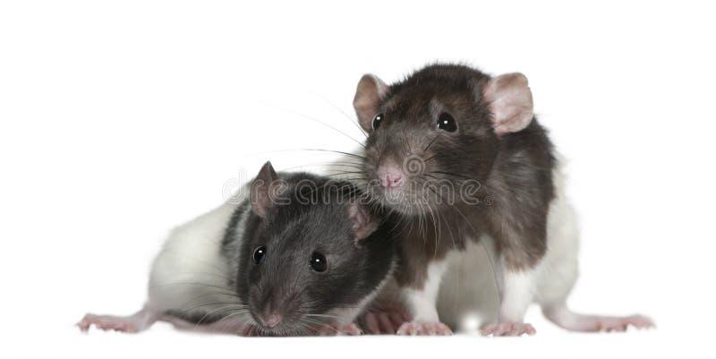 9 et 3 mois de rats, devant le blanc image stock