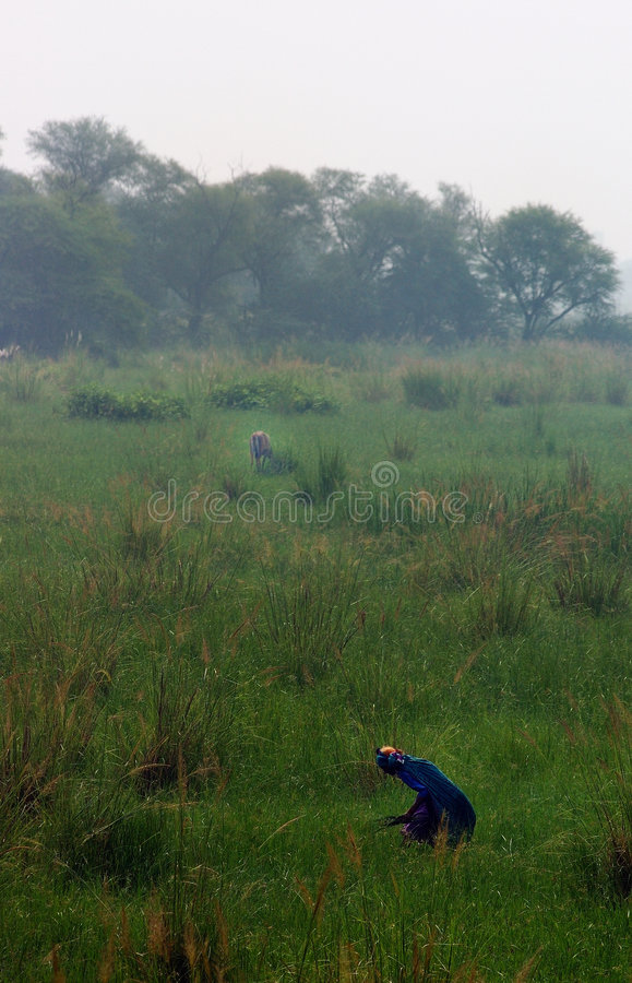 9 sanktuarium sultanpur ptaka zdjęcia stock