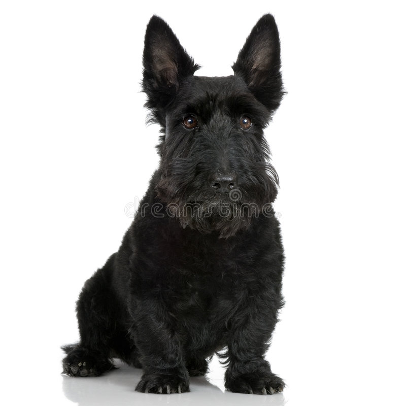 9 skotska terrierår royaltyfria bilder