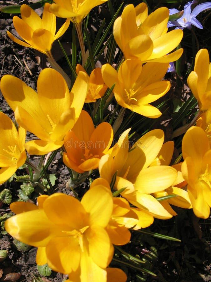 Açafrão amarelo de florescência imagem de stock