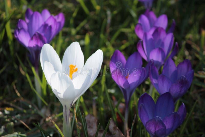 Açafrão branco e roxo selvagem da mola fotografia de stock