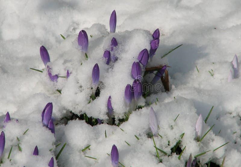Açafrão com neve ilustração stock