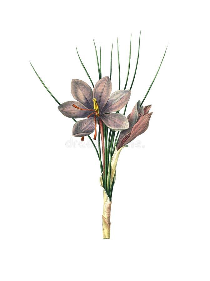 Açafrão de açafrão | Ilustrações antigas da flor ilustração royalty free