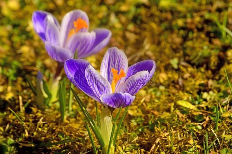 Açafrão, flor da mola fotos de stock royalty free
