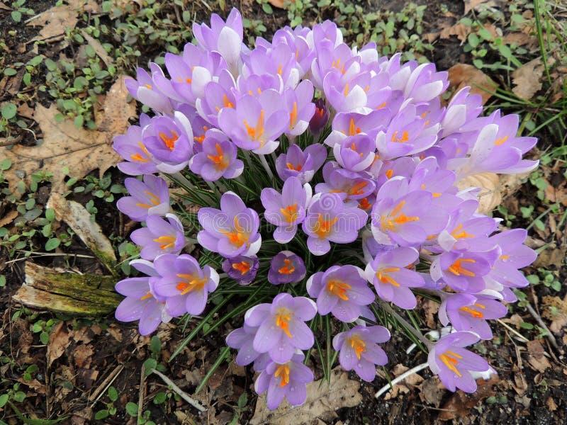 Açafrão roxo de florescência foto de stock
