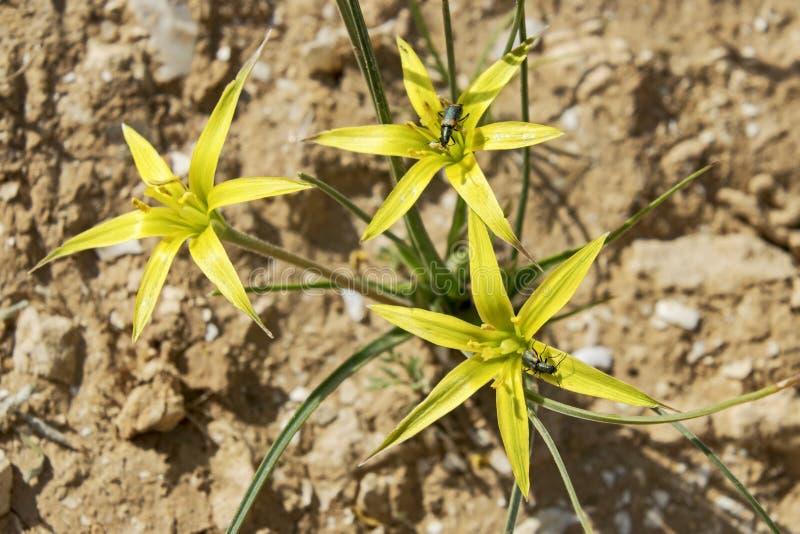 Açafrão selvagem do ouro de Stolonous no Negev fotografia de stock royalty free