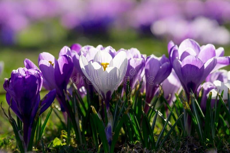 Açafrões as primeiras flores imagens de stock