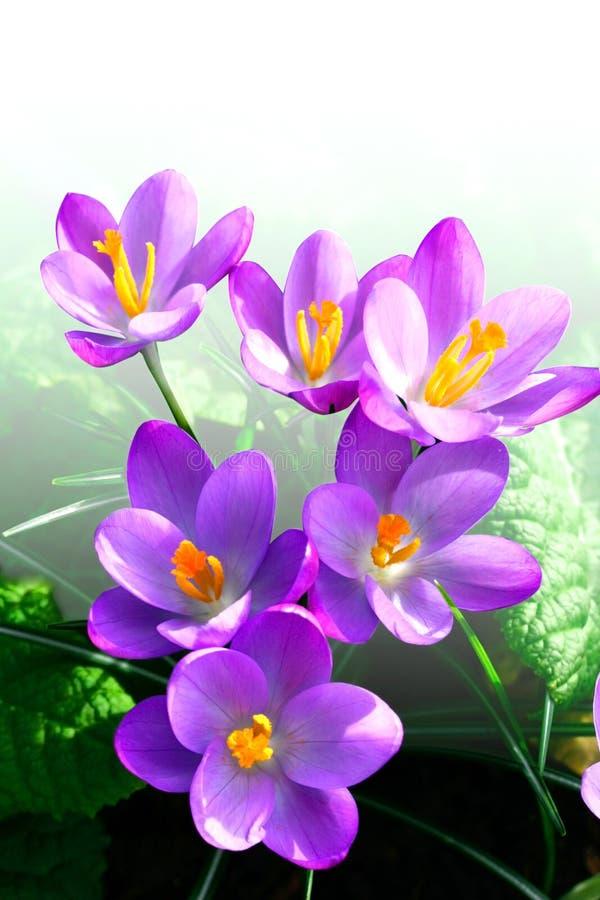 Açafrões da magenta da primavera fotos de stock royalty free