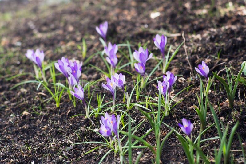 Açafrões lilás no gramado imagens de stock