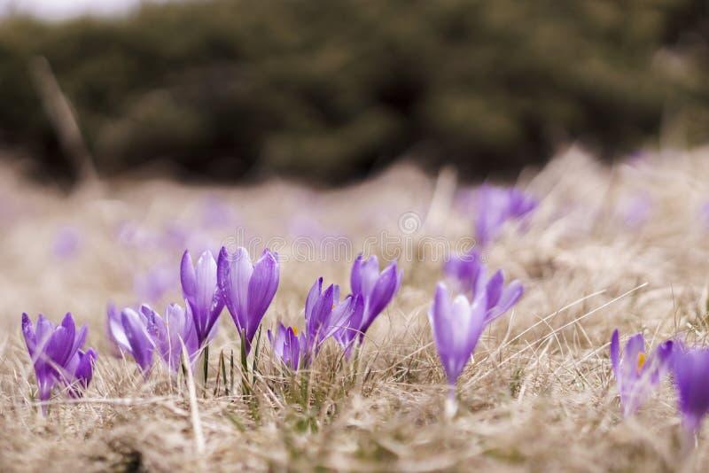 Açafrões violetas de florescência em um prado da montanha imagem de stock