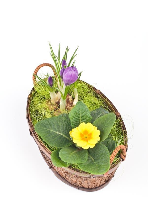Açafrões violetas e primrose amarelo fotografia de stock royalty free