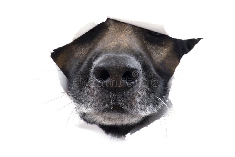 Açaime o cão no branco fotografia de stock royalty free