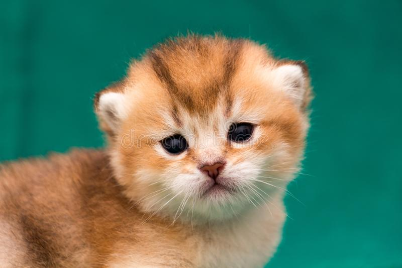 Açaime um close-up britânico dourado do gatinho do gengibre imagens de stock royalty free