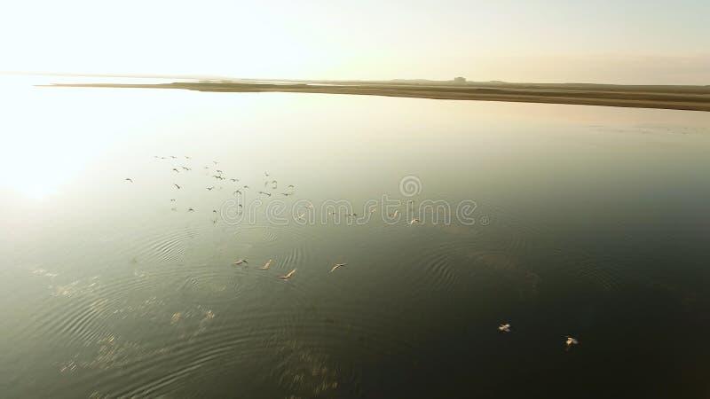 Aéreo para muitos pássaros que voam acima do lago no por do sol tiro Rebanho mostrado em silhueta dos patos selvagens crescentes  foto de stock